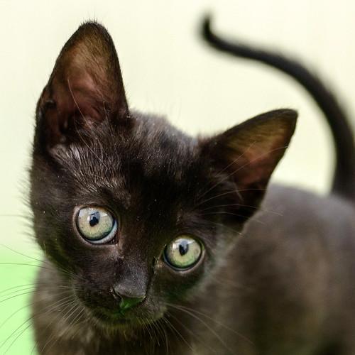 Bombón, gatita negra monísima y dulce esterilizada, nacida en Marzo´18 en adopción. Valencia. RESERVADA. 42162601362_a3a6bf942a
