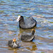 Coots and Cootlings