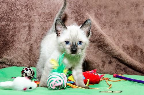 Boston, gatito Siamés Tabby reguapo y juguetón esterilizado, nacido en Marzo´18, en adopción. Valencia. ADOPTADO. 41071656135_9d45e32db8