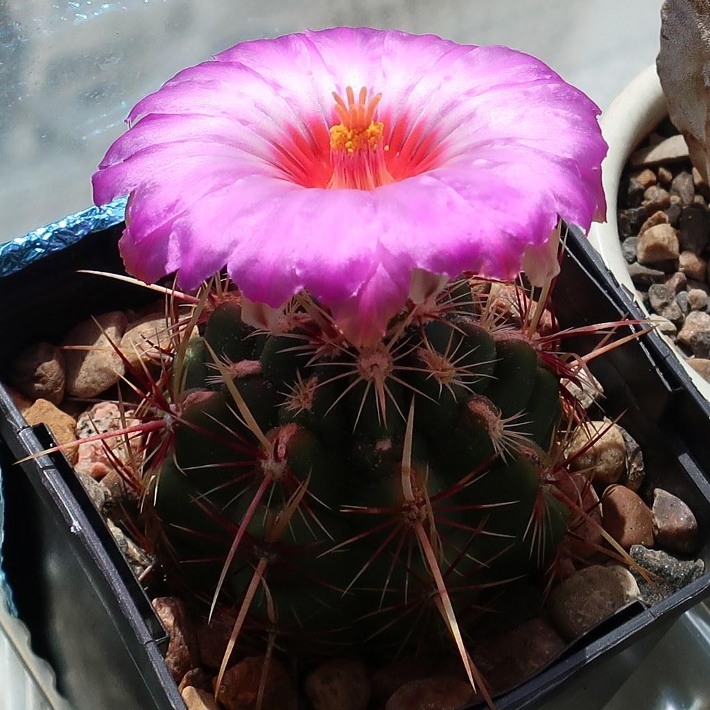 Best Cactus Flowers Cactiguide