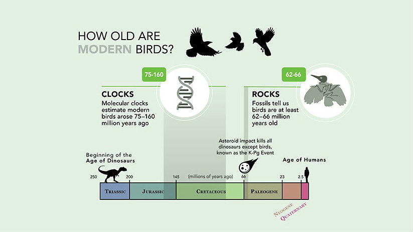 This study shows that evolution of birds sped up after the mass extinction caused by the asteroid hit (Credit: Jillian Ditner, Cornell Lab of Ornithology)