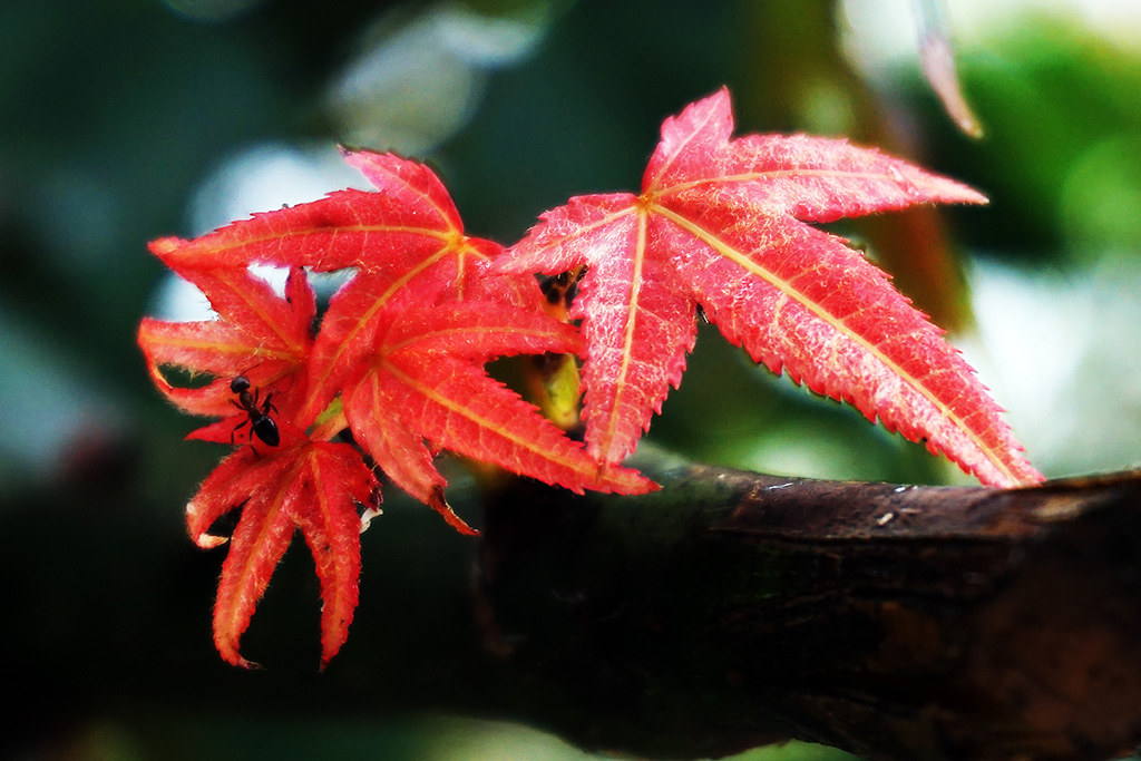 賞楓 -之螞蟻家族