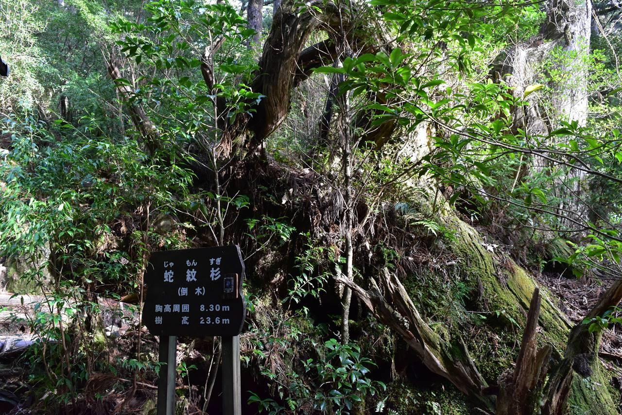 ヤクスギランド・蛇紋杉
