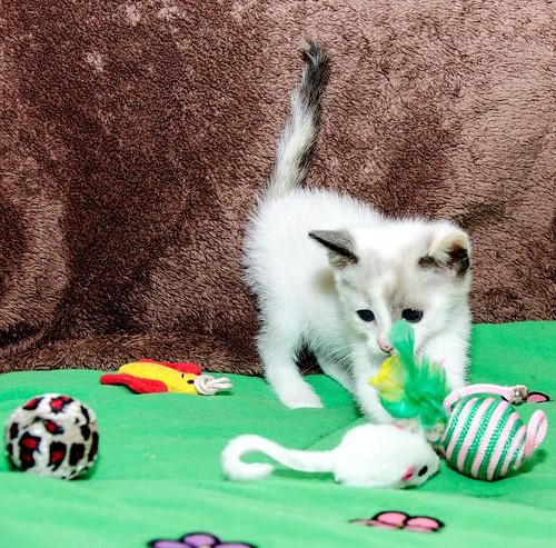 Bora, gatita Siamesa tricolor traviesa y monísima esterilizada, nacida en Marzo´18, en adopción. Valencia. RESERVADA. 41252479534_6c9f5495f5