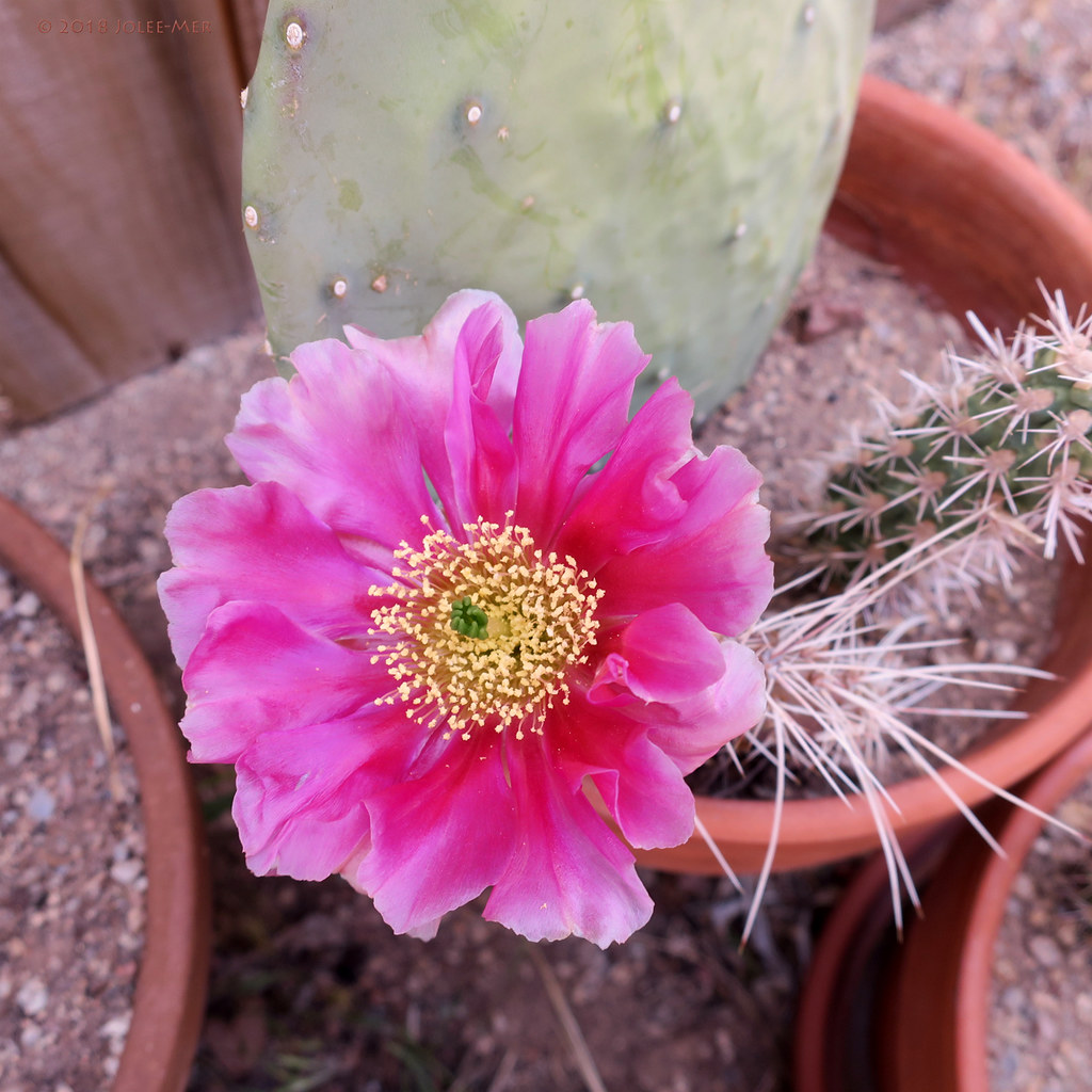 Flashy Pink Cactus Flower Just A Cutting Thats Taking Roo Flickr
