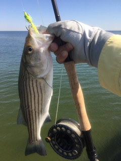 Striped bass caught while fly fishing