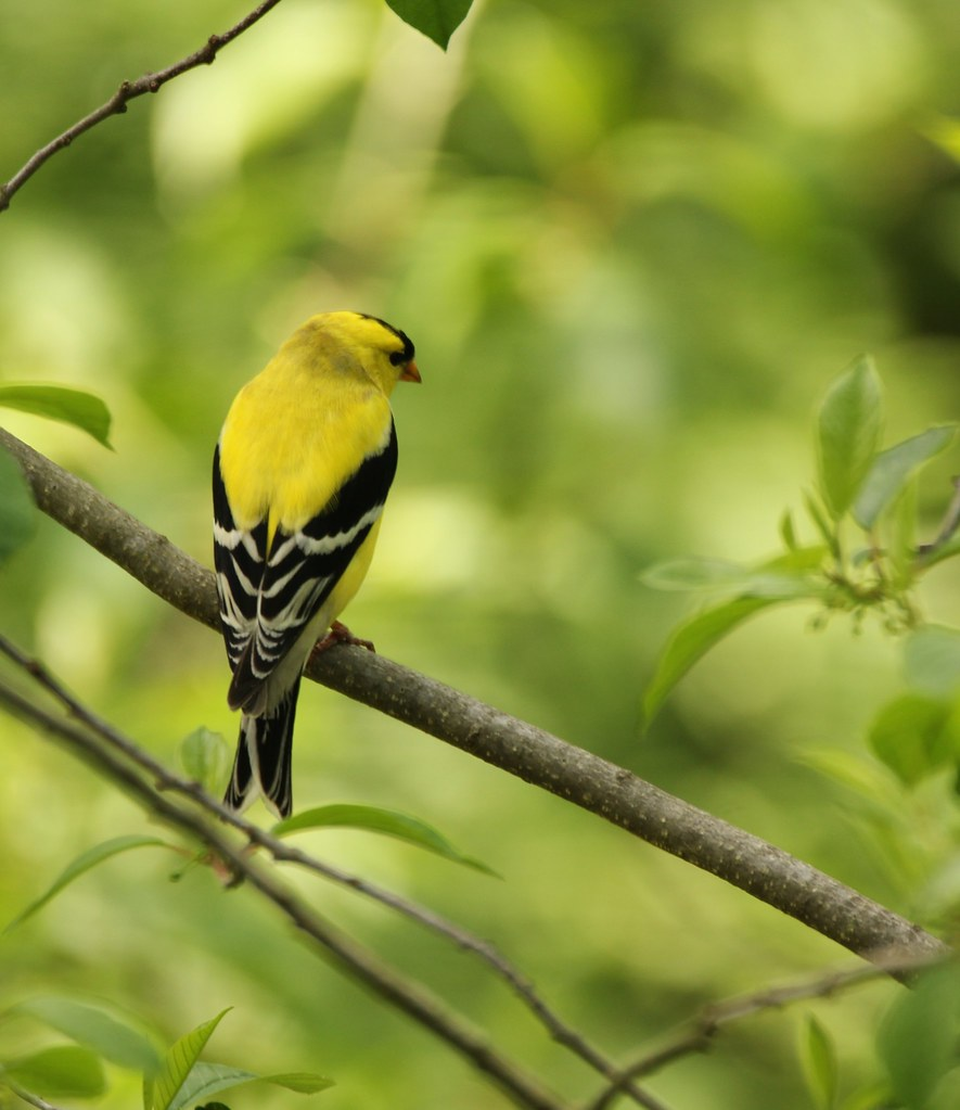 american goldfinch peaceful nature flickr