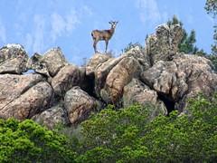 La mouflonne en surveillance sur la crête au-dessus de nous