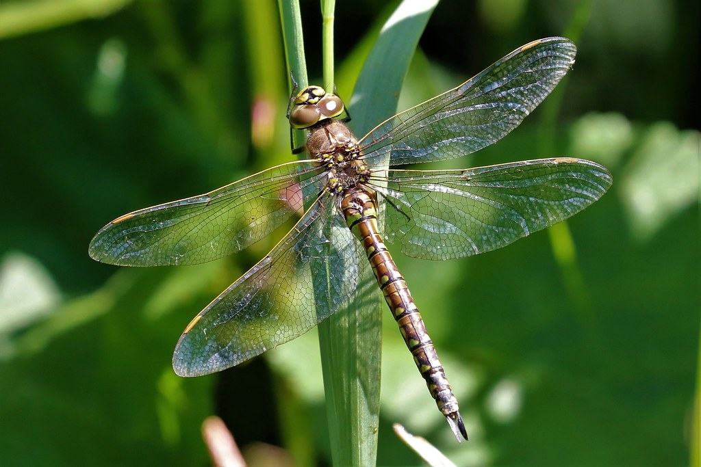Female blue eyed darner