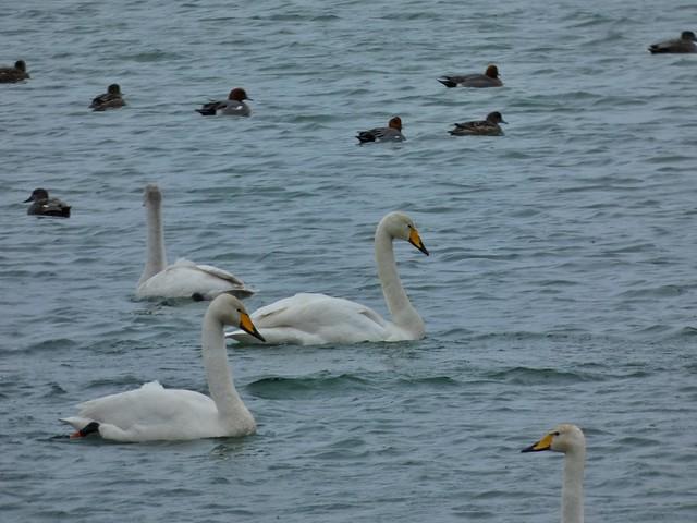 Aves en el lago Myvatn (Norte de Islandia)