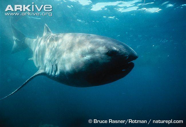 Tiburón boquiancho o tiburón de boca ancha