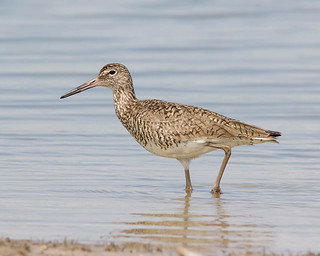 Willet | by icephotojim