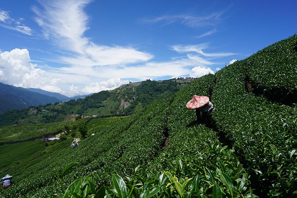 人工手摘茶