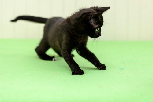 Bombón, gatita negra monísima y dulce esterilizada, nacida en Marzo´18 en adopción. Valencia. RESERVADA. 28335841858_f4380bbde9
