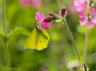 Brimstone | by Huddsbirder