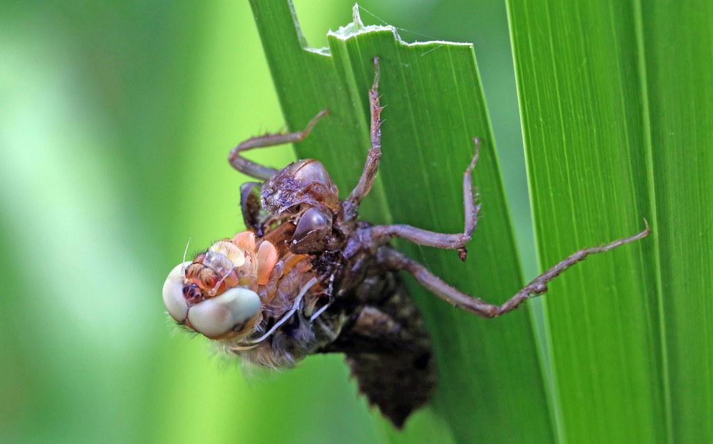 metamorphose libellula fulva scarce chaser spitzenfleck avesag flickr. Black Bedroom Furniture Sets. Home Design Ideas
