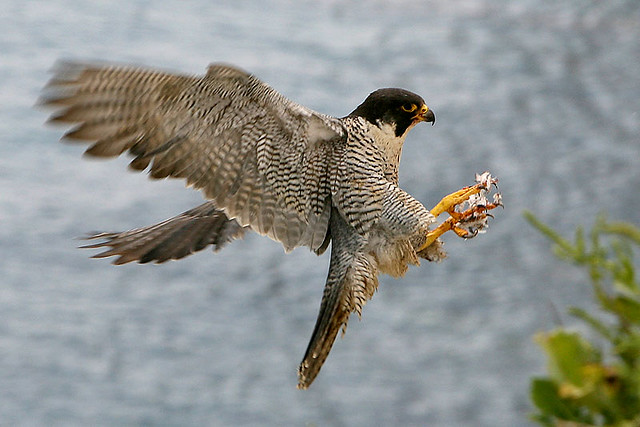 Peregrine falcons return to nest trails closed to public