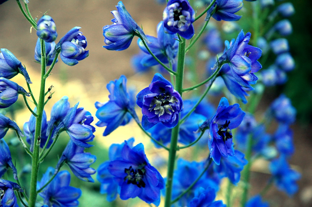 Pretty blue flowers darren barefoot flickr pretty blue flowers by dbarefoot pretty blue flowers by dbarefoot mightylinksfo