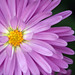 Heavenly Aster