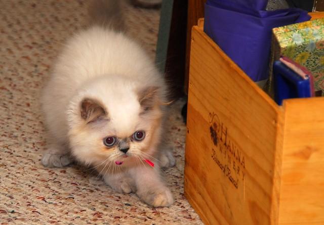 Kitten Pate Food Uk