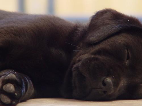 Black dog lying on back - photo#45