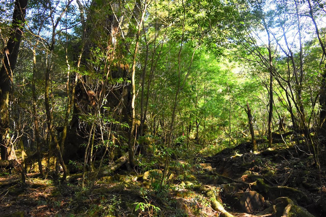 太忠岳 新緑の登山道