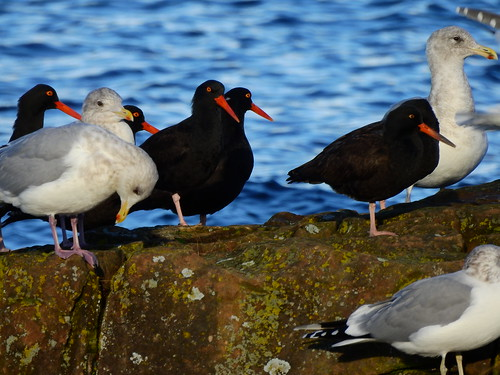 november 24 2016 14:19 - Oystercatchers & Gulls | by boonibarb