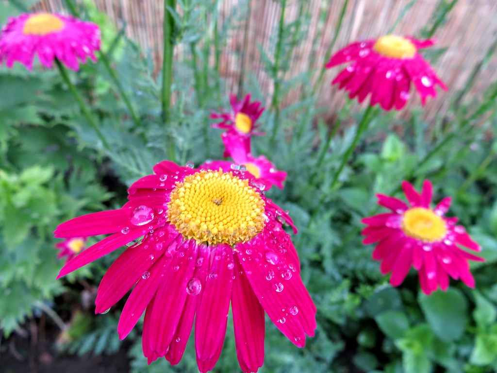 Raindrops on daisies chrysanthemum coccineum robinson flickr raindrops on daisies chrysanthemum coccineum robinsons red by duan baksa izmirmasajfo