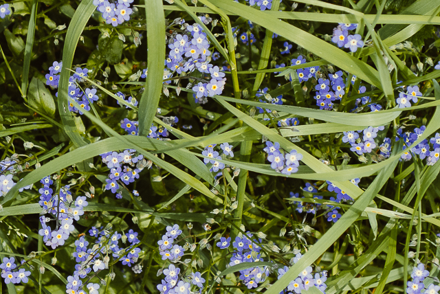 forget me nots in grass
