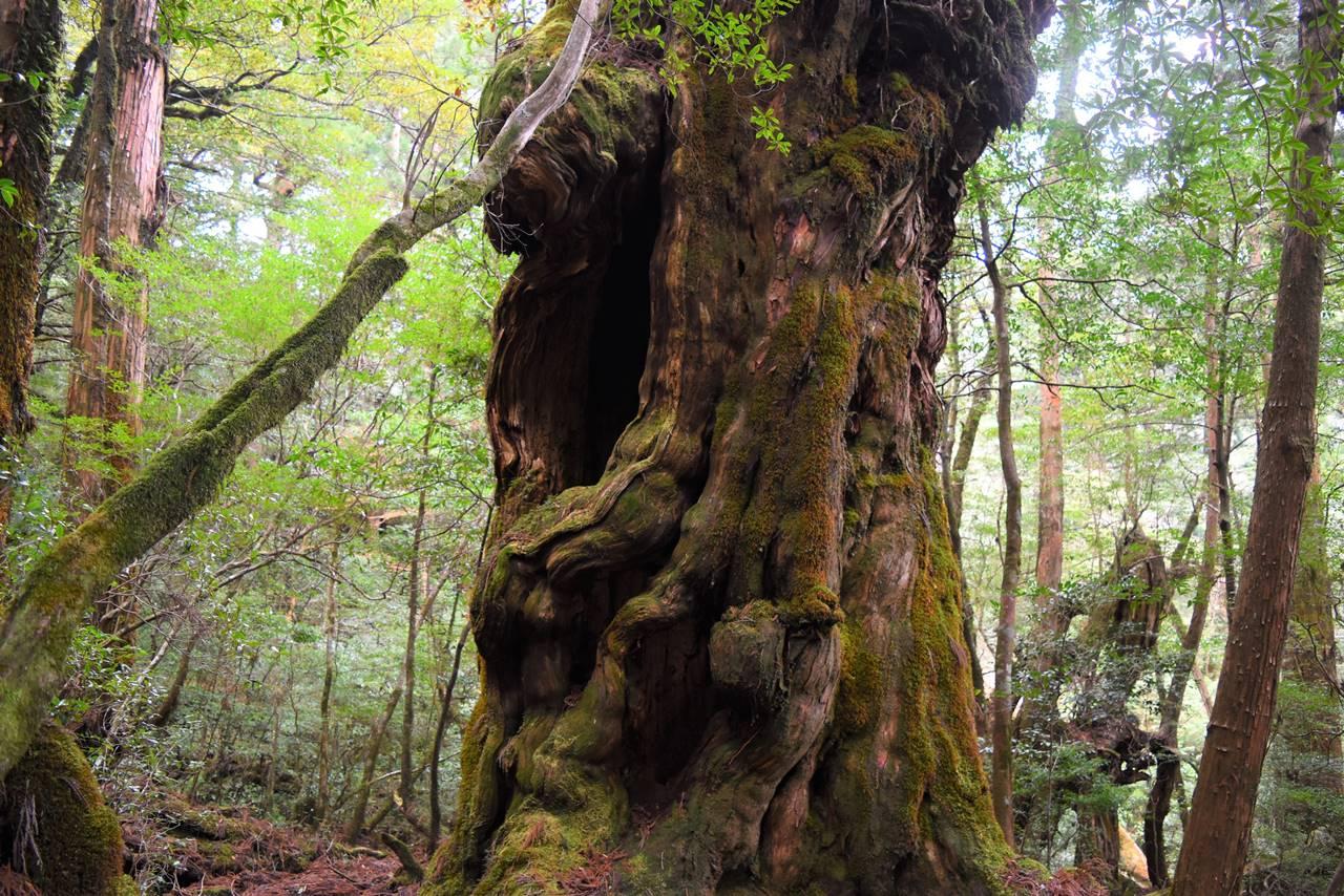 ヤクスギランド・仏陀杉