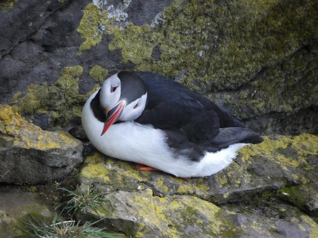 Frailecillo en Látrabjarg (Fiordos del oeste, Islandia)