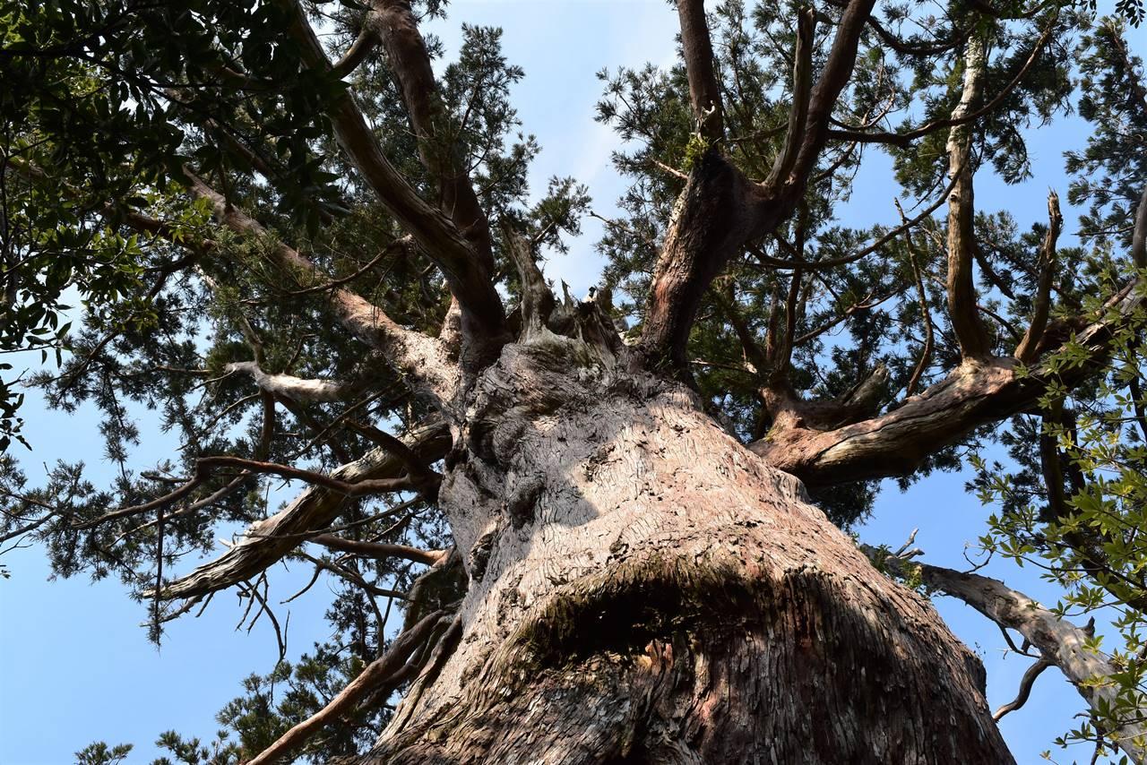 モッチョム岳・万代杉の枝分かれ