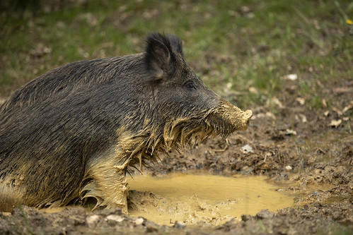 Wallowing WIld Boar Sow | by Thomas Winstone