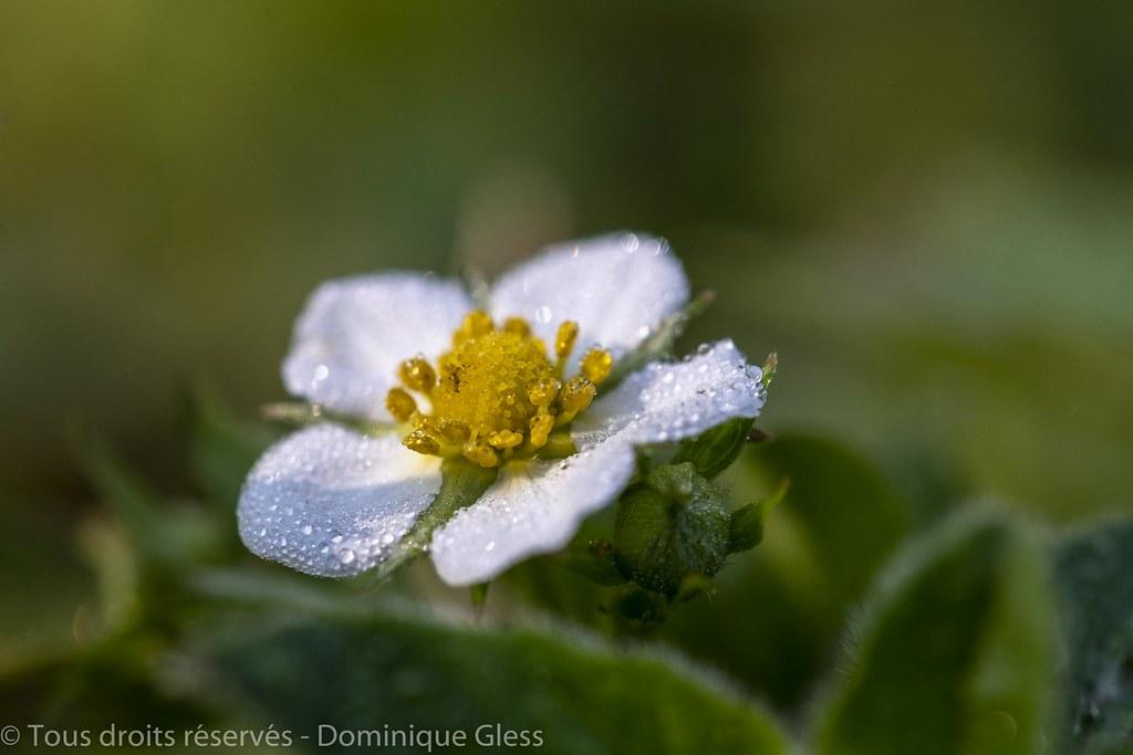 Fleur De Fraisier Sauvage Couverte De Rosee A Dewy Wild St Flickr