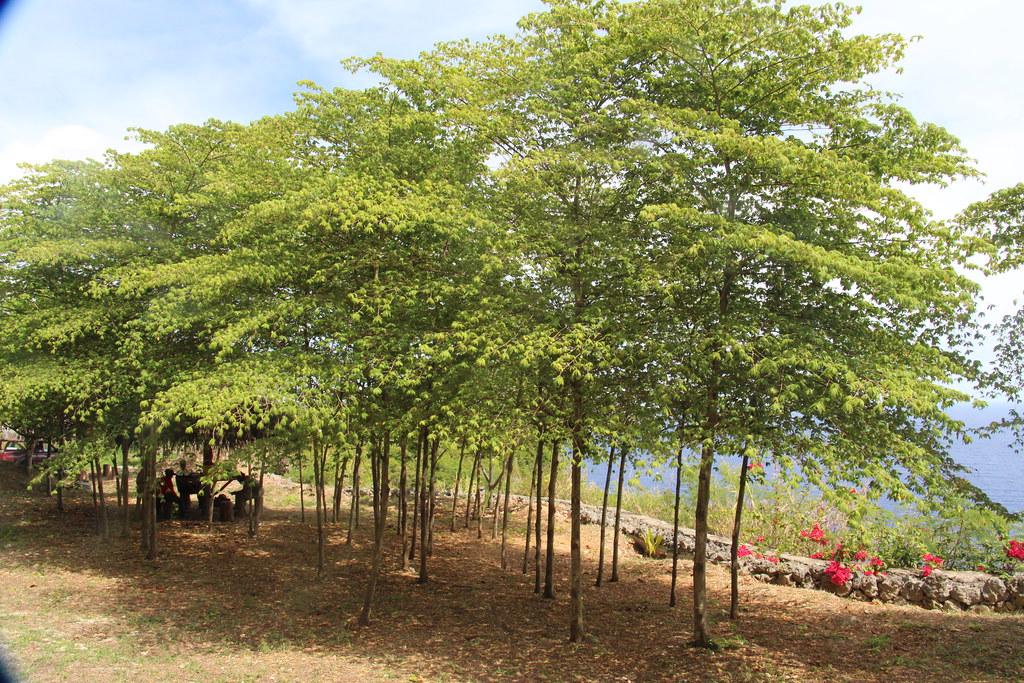 Muntingia Calabura Trees Called Panama Cherry Manzanita