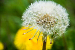 Dandelion symmetry | by Maria Eklind