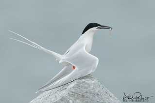 a very handsome endangered roseate tern | by annmpachecophotography.com
