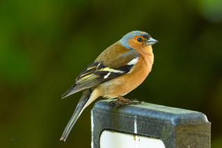 common chaffinch male-1 | by Evelakes67
