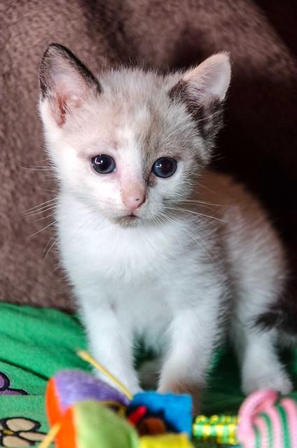 Bora, gatita Siamesa tricolor traviesa y monísima esterilizada, nacida en Marzo´18, en adopción. Valencia. RESERVADA. 27102266677_1489a5457e_z