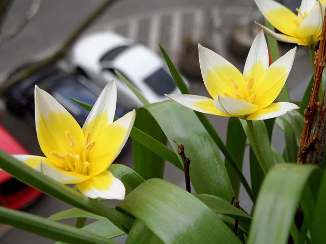 Gelb blühende Tulipa sylvestris in einem Blumenkasten
