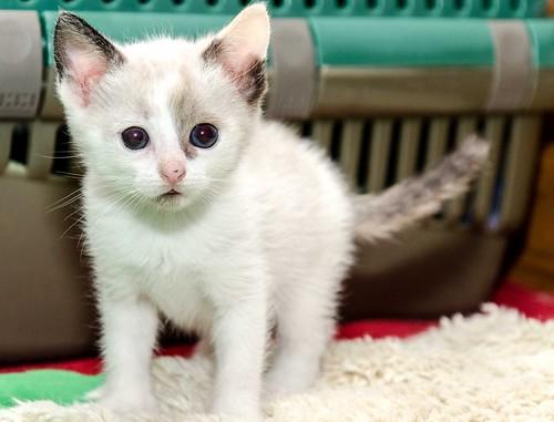 Bora, gatita Siamesa tricolor traviesa y monísima esterilizada, nacida en Marzo´18, en adopción. Valencia. RESERVADA. 41071639245_1c37907000