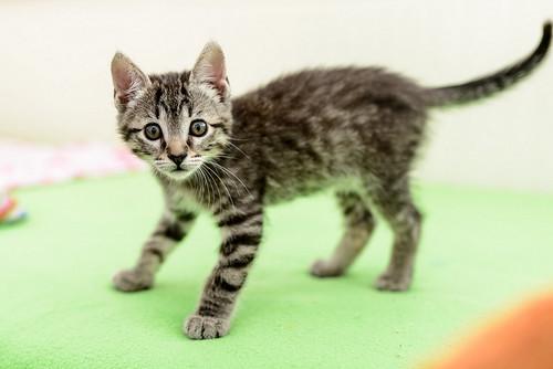 Bonnie, gatita parda monísima y muy lista esterilizada, nacida en Marzo´18, en adopción. Valencia. 41308391195_ea40d48951