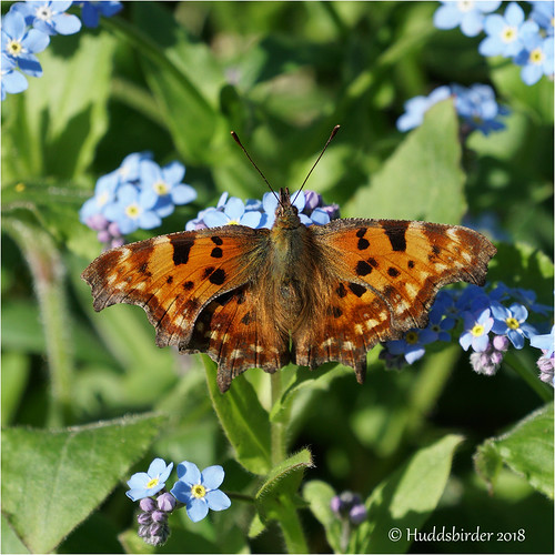 Comma | by Huddsbirder