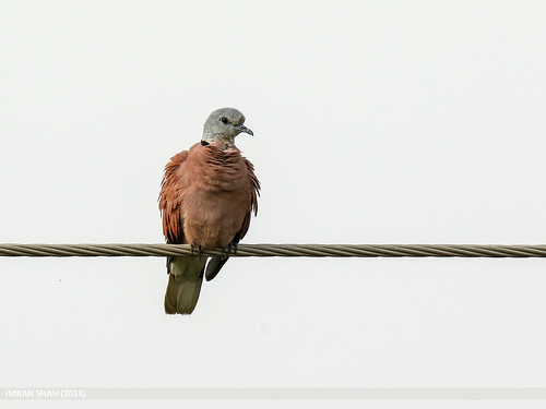 Red Collared Dove (Streptopelia tranquebarica) | by gilgit2