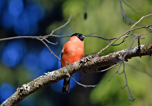 Bullfinch 10.5.2018. Warm spring in Finland. | by L.Lahtinen (nature photography)