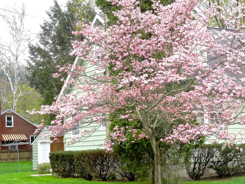 Flowering Dogwood Tree The Weather Has Been Weird First Flickr