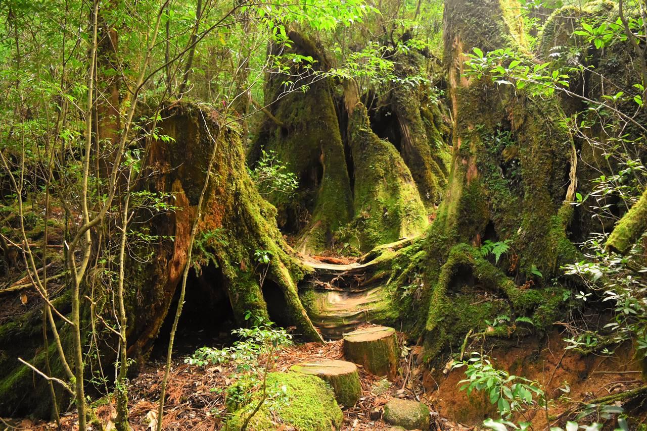 苔と杉のヤクスギランド