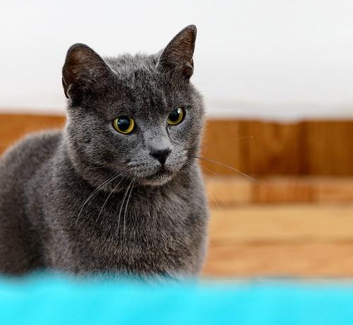 Cartujo, gato azul de ojos cobre tímido y juguetón esterilizado, nacido en Febrero´14, en adopción. Valencia. ADOPTADO. 42162576882_0858a43b38