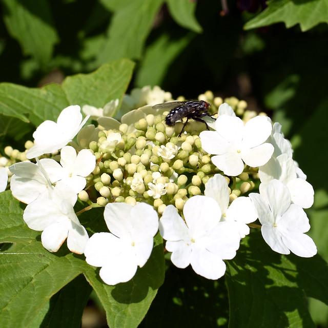 Baum- und Strauchlehrpfad in Plankstadt ... Foto: Brigitte Stolle, Mai 2018 ... Gewöhnlicher Schneeball mit Fliege