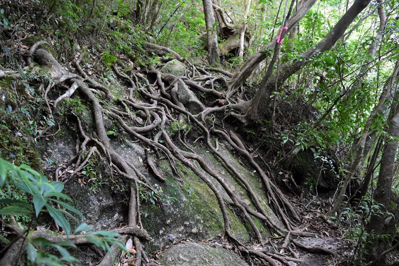 モッチョム岳・根っこが張り巡らされた登山道